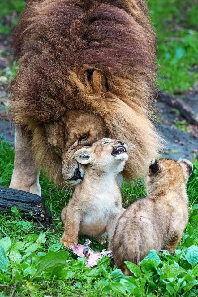 比利時動物園母獅受傷,獅子爸爸被迫照顧幼崽,手足無措一臉茫然